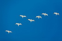 Herring Gull Larus argentatus, flock in flight, Texel, Holland