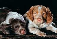 Two Brittany Spaniel puppies