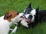 Jack Russell Terrier and Boston Terrier
