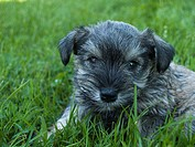 Schnauzer puppy