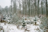 Snowy winterly forest with beech trees and fir trees