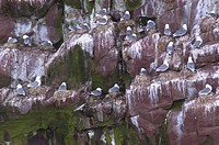 Bird rock at Whitless Bay Ecological Reserve, Avalon Peninsula
