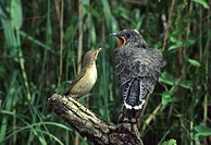 Cuckoo (Cuculus canorus)feeding from reed warbler