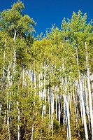 Aspen trees in Colorado, USA