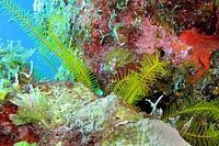 Featherstar, Crinoid, Crinoidea, Coral Reef, Caribbean, Isla de la Juventud, Cuba