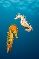 Couple of Mediterranean Seahorse, Hippocampus ramulosus, Majorca, Balearic Islands, Mediterranean Sea, Spain