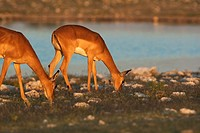 Black-faced impalas Aepycerus melampus,eating, Etosha National Park, Namibia.