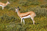 Springbok Antidorcas marsupialis, in the bush, Etosha National Park, Namibia