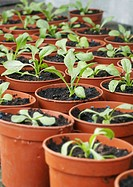 Seedlings in Plant Pots
