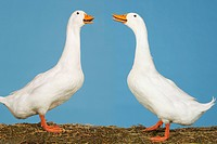 Two geese facing each other against blue background side view