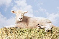 Lamb lying on hay against sky background digital composite