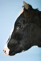 Cow against blue background close_up of head side view