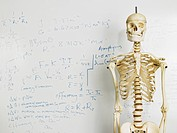 Skeleton in front of whiteboard