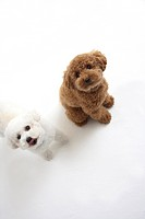Two toy poodles