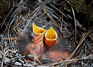 Townsend´s solitaire nestlings Myadestes townsendi