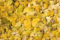 Fallen yellow gingko leaves