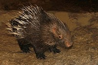 Close_up of a young North American porcupine Erethison dorsatum
