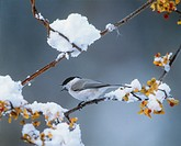 Marsh Tit perched on frosty branch, Sunayu, Hokkaido, Japan