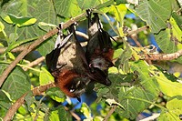 A pair of Grey Headed Flying Foxes, Pteropus poliocephalus  There is a juvenile licking its wing on the right and the mother on the left  These bats a...