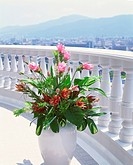 Tropical Flower at Balcony