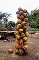 Coconuts  Moluccas islands  Indonesia