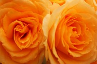 Close_up of orange roses