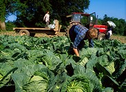 Men gathering cabbages in field, Farm workers in a field