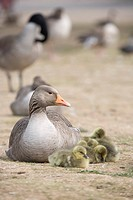 Goose with baby chicks