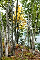 Birch Trees near Road, Cape Breton Island, Nova Scotia, Canada