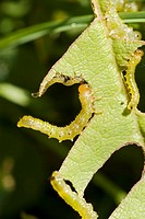 Stock photo of caterpillars eating a leaf  The image is a close-up shot of the caterpillars as they munch through the leaf