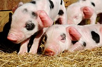 Stock photo of new born Gloucester old spot piglets
