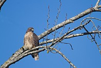 Hawk Perched on Branch