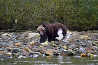 Grizzly Bear Digging for Salmon Eggs in River Rocks With Bird in Foreground