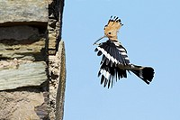 Hoopoe Upupa epops, in flight, approaching nest entrance, Portugal