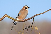 Jay Garrulus glandarius, perched on hazel nut branch, Germany
