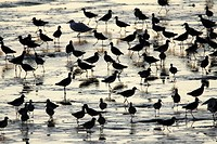 Redshank Tringa totanus, flock searching for food at low tide, Texel, Holland