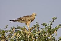 Juvenile pale chanting goshawk Melierax canorus, Kgalagadi Transfrontier Park, encompasing the former Kalahari Gemsbok National Park, South Africa, Af...