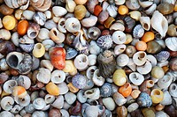 Marine Snail Shells, mainly Turbinate monodant snails and Dogwhelks Nucella lapillus, collected from Noth Sea, England and the Atlantic coast, South S...