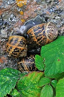 Close_up of Common garden snails Cornu aspersum / Helix aspersa mating / copulating, Brittany, France