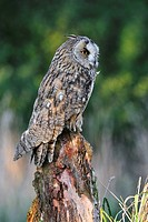 Long eared owl Asio otus perched on tree stump at forest's edge, England, UK