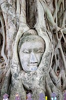Buddha head statue entwinen within the roots of a banyan tree.