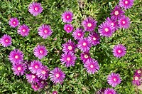 Trailing Iceplant with vibrant pink flowers