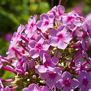 beautiful vibrant pink phlox flower cluster