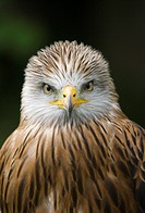 Red Kite Milvus milvus adult, close_up of head