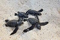 Green Turtle (Chelonia mydas), Española Island, Galapagos Islands