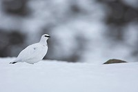 Rock Ptarmigan Lagopus mutus adult, white winter plumage, on snow covered ridge, Cairngorm Mountains, Highlands, Scotland