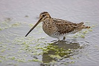 Common Snipe Gallinago gallinago adult, wading in water, Titchwell RSPB Reserve, Norfolk, England