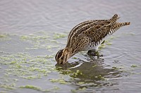 Common Snipe Gallinago gallinago adult, feeding in water, Titchwell RSPB Reserve, Norfolk, England