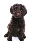 Domestic Dog, Portuguese Water Dog, puppy, sitting
