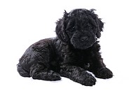 Domestic Dog, Portuguese Water Dog, puppy, laying